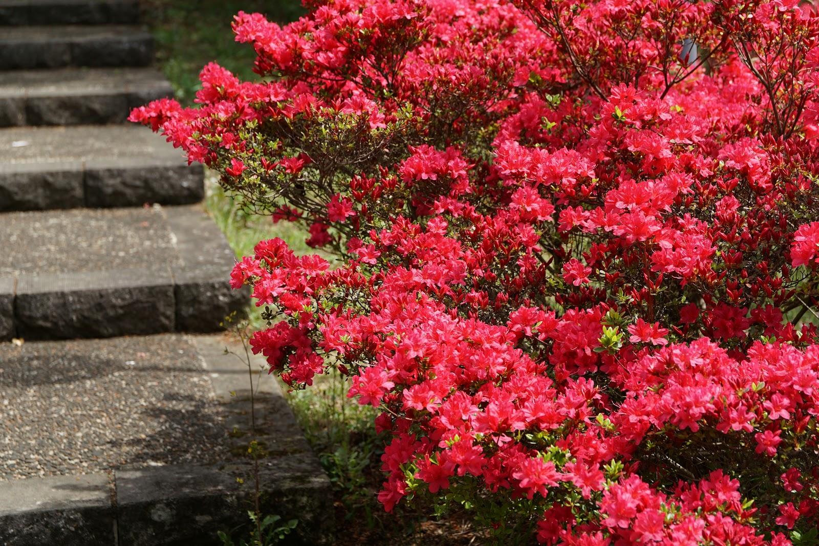 山道の階段のそばの赤い山躑躅