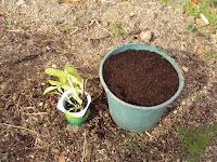 planton lechuga trasplante huerto escolar jardinera