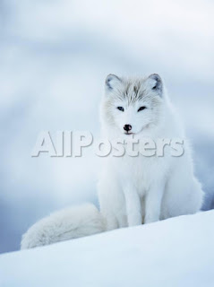 https://www.allposters.com/-sp/Arctic-Fox-Male-Portrait-Norway-Posters_i2634549_.htm