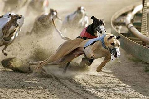 Điều kiện để có thể tham gia cá cược đua chó ở Việt Nam
