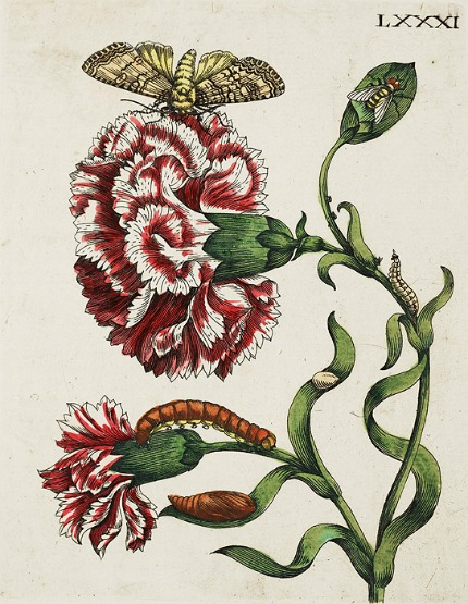 http://2.bp.blogspot.com/-4gDCdpHgpYA/UVzVh_oxNqI/AAAAAAABdP4/wt8UFsqfBjs/s1600/Maria+Sibylla+Merian+(German+artist,+1647-1717)+Botanical+1730g.jpg