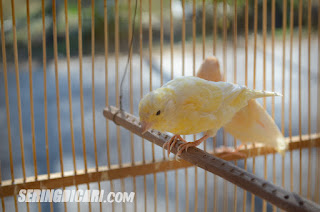 Penyebab Kenari / Lovebird Tidak Cepat Bertelur