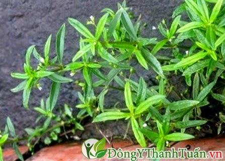 Mẹo chữa viêm mũi dị ứng tại nhà từ cỏ the