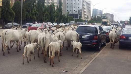Photos: Herds Of Cattle Seen Roaming Around Central Business District, Abuja
