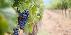7 Manfaat Buah Anggur Untuk Kesehatan