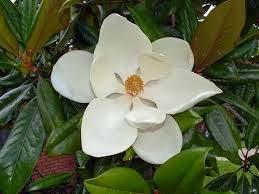 Manolya Çiçeği Faydaları