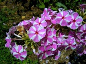 Piante e fiori le erbacee perenni e le suffruticose for Erbacee perenni