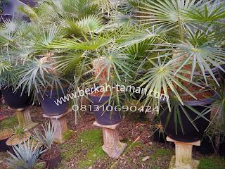 jual pohon palem jenggot tanaman koleksi