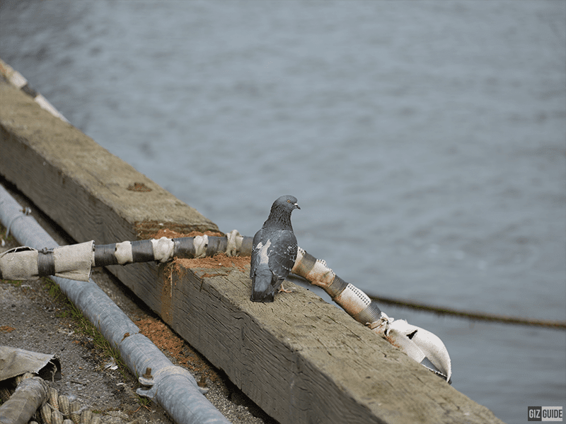 Full size - Pier Pigeon