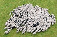Bir otlakta dönmekte olan bir koyun sürüsünün kuş bakışı görüntüsü
