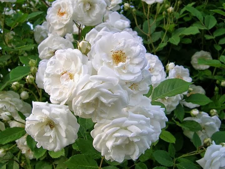 Kumpulan Gambar Bunga Mawar Putih Yang Cantik Indah Blog Bunga