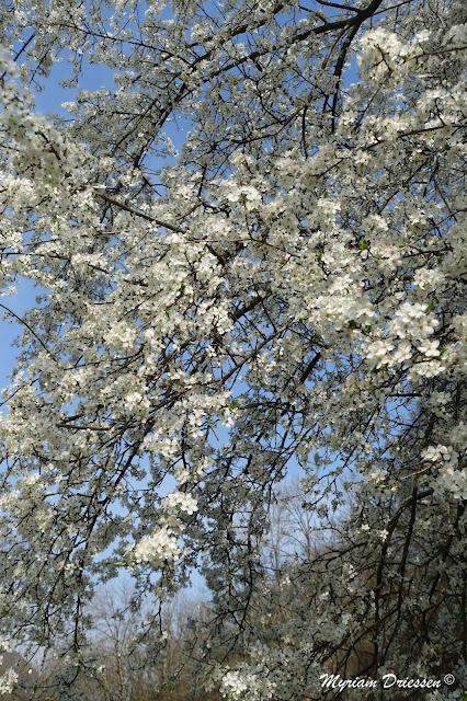 prunier en fleurs Montagne Noire Tarn