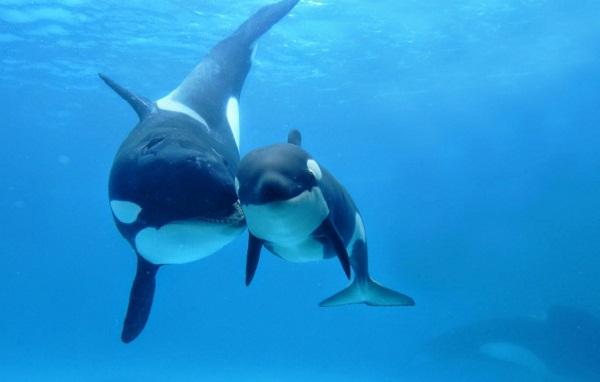 perkembangbiakan paus
