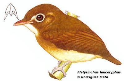 Picochato chico Platyrinchus leucoryphus
