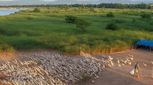 Budiaya Bebek : Ternak Bebek Pedaging Raup Untung Berlimpah