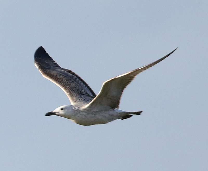 Fly Flatts Caspian Gull