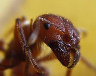 semut kepala besar