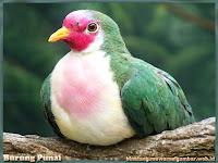 gambar burung punai