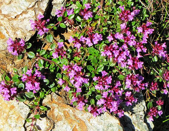Macierzanka zwyczajna (Thymus pulegioides L.).