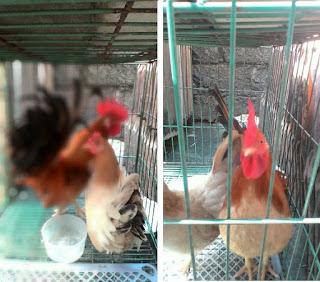 Bisnis, Bisnis Beternak Ayam Unik, Ayam Kate, Ayam Bangkok, Ayam Cemani