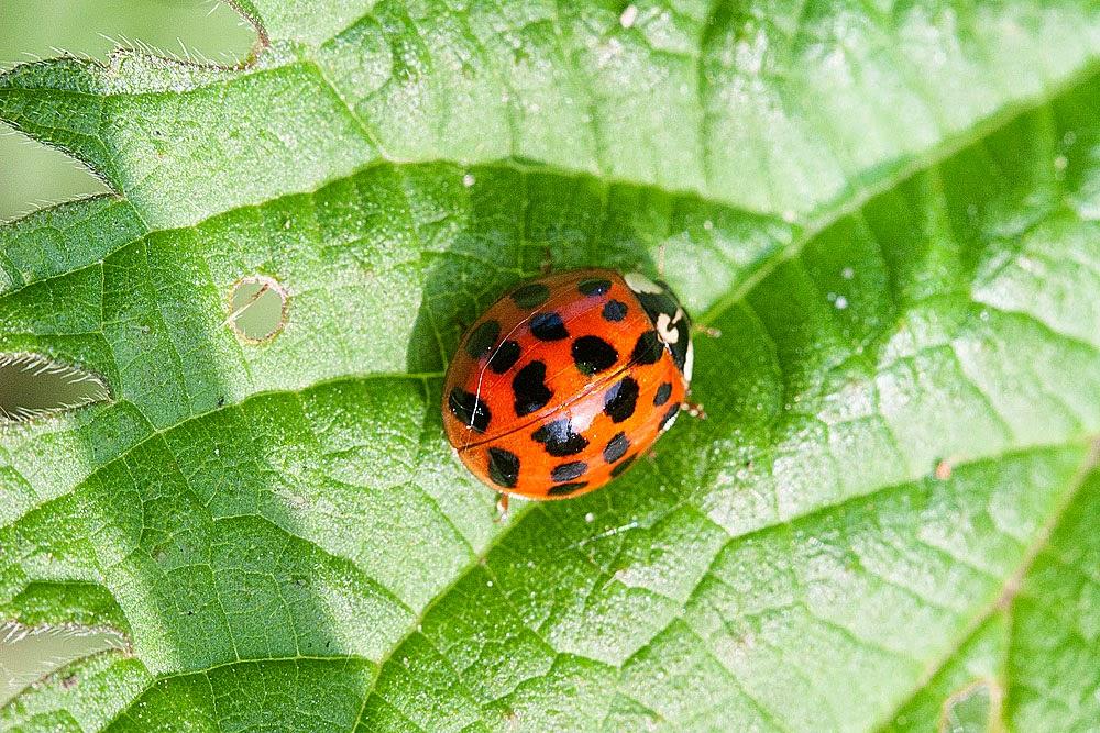 Harlequin Ladybird - Loughton Valley Park, Milton Keynes