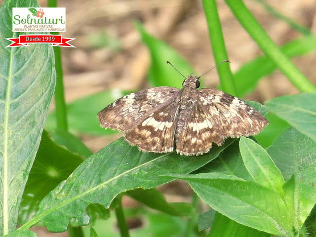 mariposa Chiomara asychis Emparchada Hesperiidae