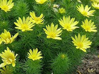 Цветок Людмилы - горицвет