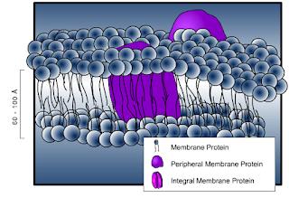 http://www.bio.davidson.edu/people/macampbell/111/memb-swf/membranes.swf