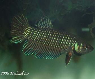 Jenis Ikan Cupang Spesies Betta Mahachaiensis