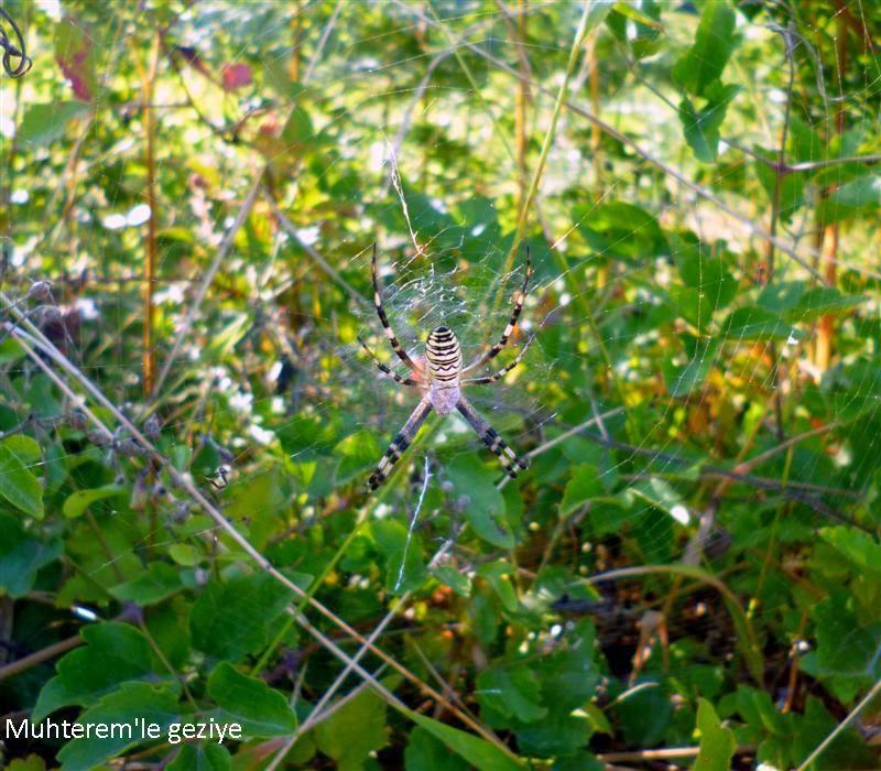 sarı-siyah bahçe örümceği