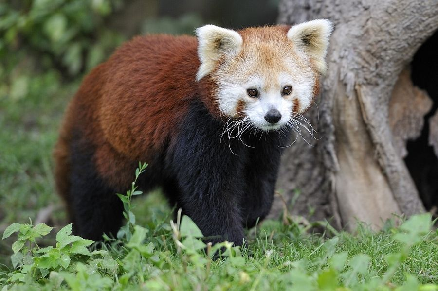 25. Red Panda by Josef Gelernter