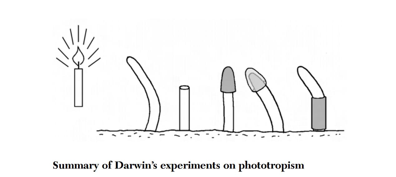 Ongzi's SecretGarden: Darwin : Phototropism