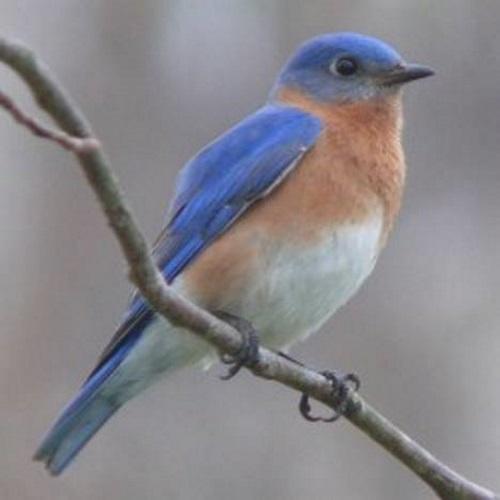Pássaro azul para ilustrar o verso de Mário Quintana: Todos esses que aí estão Atravancando meu caminho, Eles passarão... Eu passarinho!