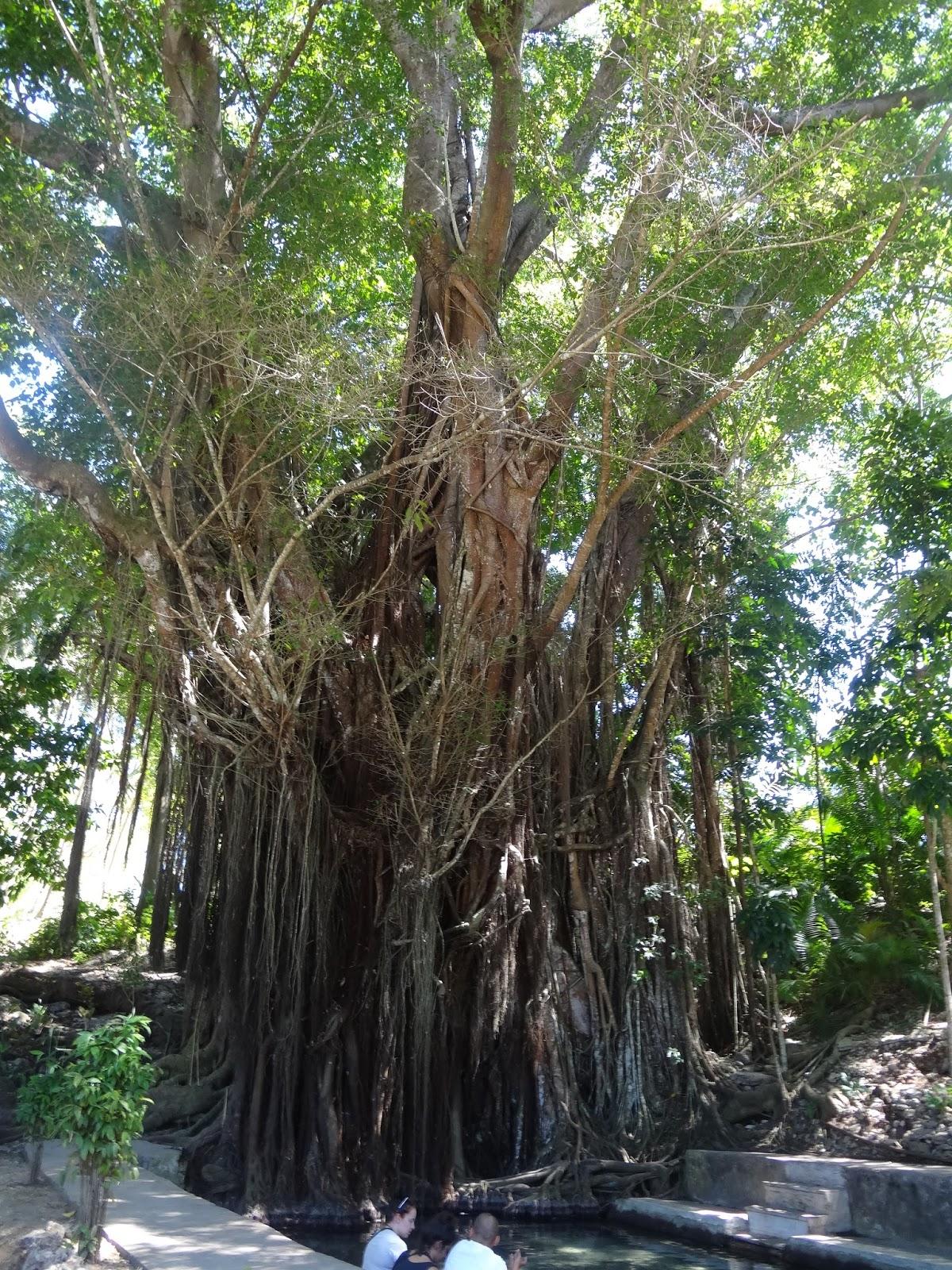Siquijor Balete Tree