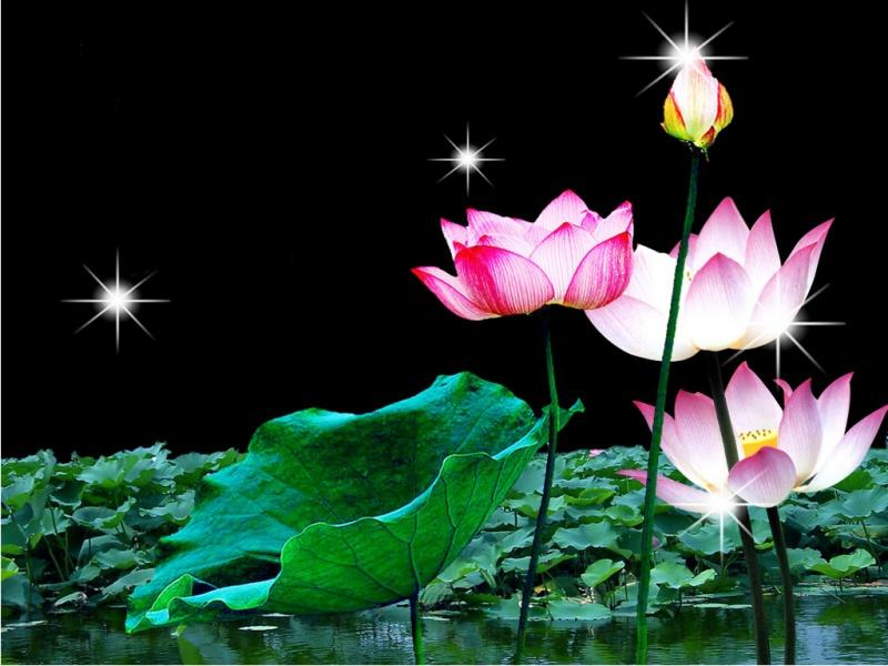 Free Wallpaper Lotus Flower Wallpaper
