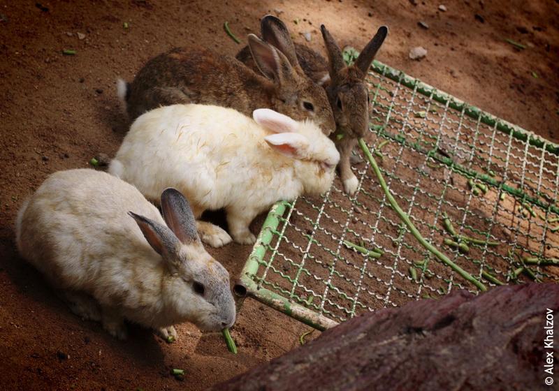 Тайские кролики