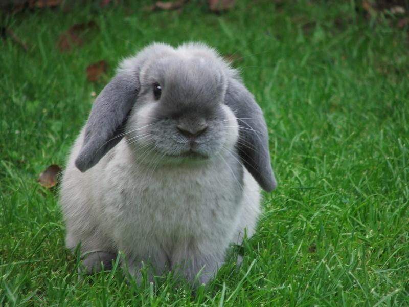 Image Gallery Lop Rabbit