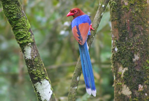 Sri Lanka Blue- Magpie (Urocissa ornata) by Gaurika