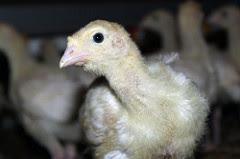 Tomma burar kalkon - Rörelse för djurrätt