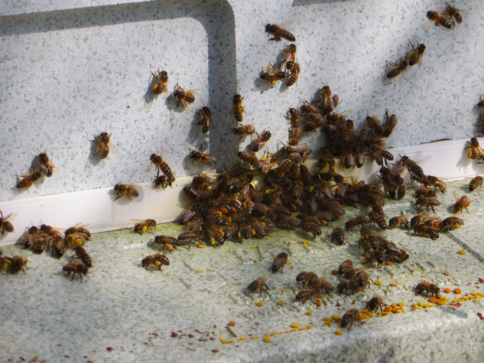 A lot of activity at the poly hive, different pollen going in.