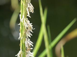 Spartine de Townsend - Spartina × townsendii - Spartina maritima X Spartina alterniflora