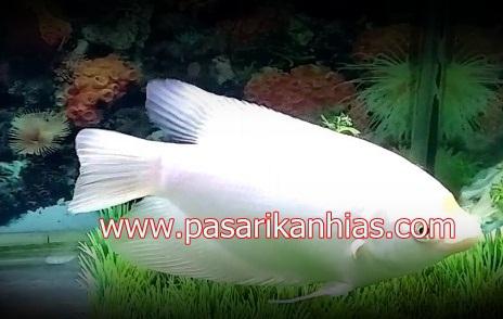 Ikan hias air tawar gurame padang