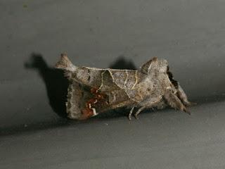 Notodonte à tache rousse - Clostera apicalis