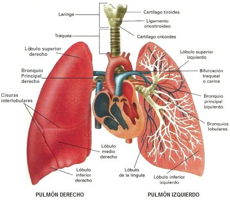 Anatomía aplicada, Carmen: DISECCIÓN DE PULMÓN 21-02-2017