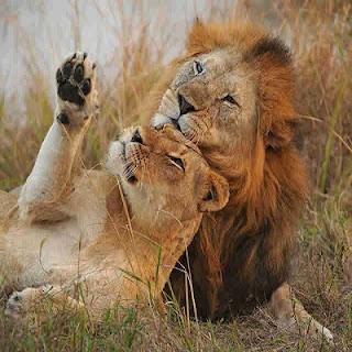 Aslanlar Hakkında 17 Bilgi