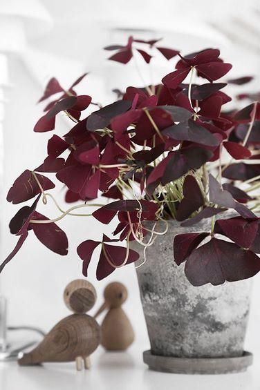 Hojas púrpura de Oxalis triangularis subsp. papilionacea en maceta