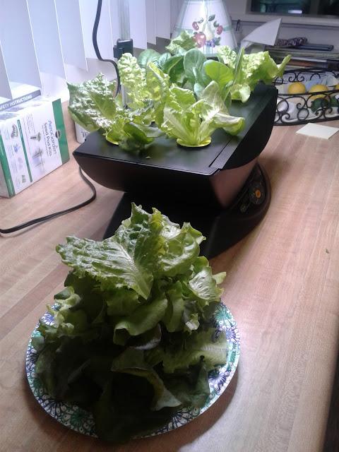 Aerogarden salad harvest 24 days!