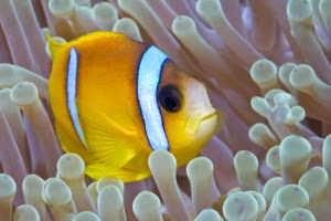 Simbiosis Mutualisme Ikan Badut dengan Anemon Laut