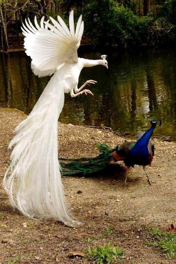 Peacock ~ Amazing
