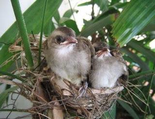 4 Cara Memilih Burung Trucukan Yang Bagus Paling Akurat Yang Sudah Terbukti